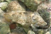 Sepiabläckfisk